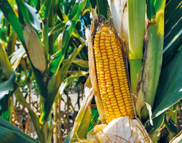 La Argentina desplazará a Brasil y volverá a ser el segundo exportador mundial de maíz