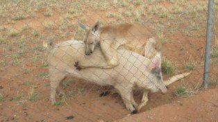 Curiosa relación amorosa entre un cerdo y un canguro en Australia