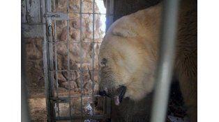 Mientras el oso Arturo agoniza, rematarían animales del zoológico de Mendoza