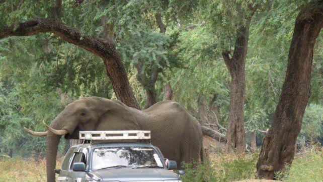 Un elefante pide ayuda tras recibir un disparo en la cabeza
