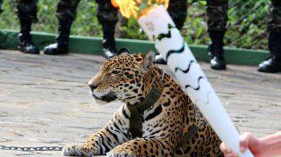 Mataron un jaguar en plena ceremonia olímpica en Brasil