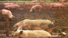 pese a la crisis, el sector porcino entrerriano se expande