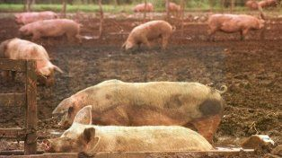 Productores porcinos cortarán el puente Victoria-Rosario