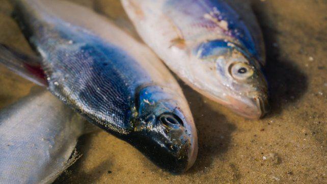 Ahora los peces muertos aparecieron en Gualeguay