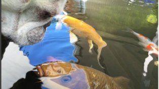 Un video sobre la increíble amistad entre un bulldog francés y un pez se volvió viral