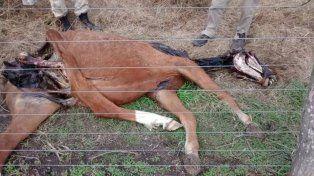 Un productor encontró un caballo mutilado y se reaviva la polémica