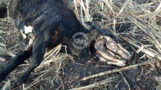 Otra vez el misterio de los animales mutilados en Entre Ríos