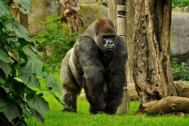 La última captura del gorila con vida.