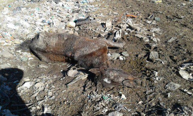 Uno de los cuatro caballos muertos en Viale.