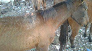 Los caballos maltratados de Viale fueron trasladados del basural a un campo