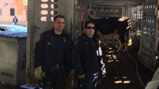 Viral: Una vaca que llora al ser rescatada del matadero
