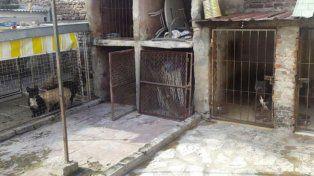 Rescataron a 14 pitbull de un criadero ilegal de perros