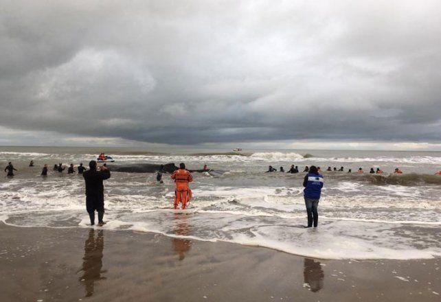 Murió la ballena que había sido devuelta al océano en Mar del Tuyú