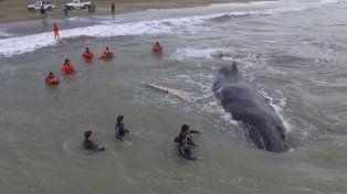Con ayuda de la marea, fue rescatada la ballena encallada en Mar del Tuyú