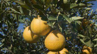 La mitad del citrus se perdió por el granizo