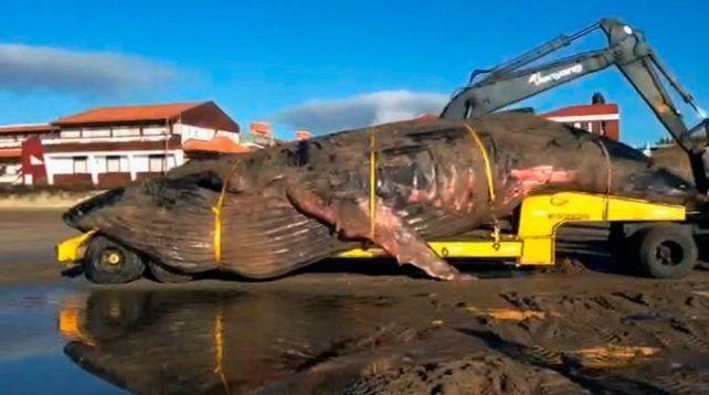 Enterraron a la ballena que murió en Mar del Tuyú