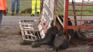 Unas quince vacas murieron al volcar un camión jaula