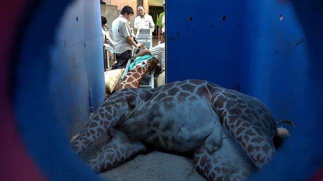 Jirafa murió de miedo en un zoo cuando iba a conocer a su novia