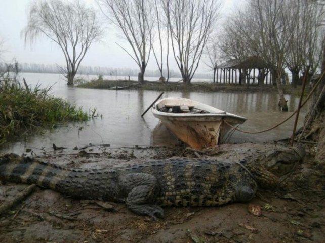 Encontraron un enorme yacaré en el Río Paraná