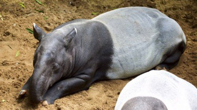Murió uno de los ejemplares de tapir más viejos del mundo