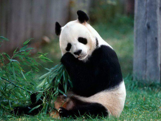 Una buena noticia para los pandas gigantes