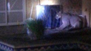 Un puma se metió en una casa de Cerrito