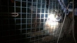 El puma hallado en Cerrito estaba lastimado y con signos de haber estado en cautiverio