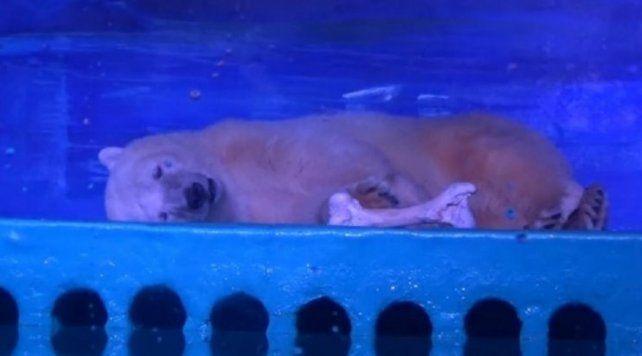 Buscan salvar al oso polar más triste del mundo, encerrado en un shopping