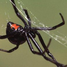 Una araña venenosa lo picó dos veces en el pene