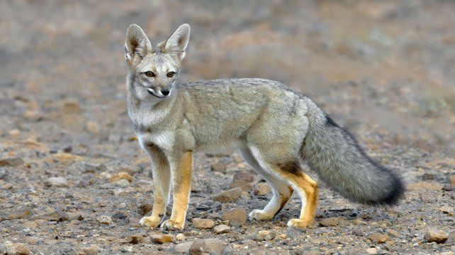 Evaluaron la situación de las poblaciones de zorro y otras especies nativas