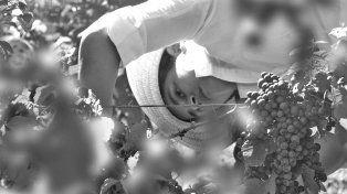 Tiempo de cosecha. En Victoria quieren desarrollar la uva marselan