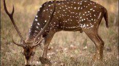 Sin freno. El ciervo desplazó a especies autóctonas porque les compite con el alimento.