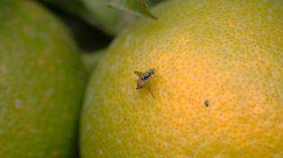 La mosca se detectó por primera vez en 1916 en Japón. Foto Internet.