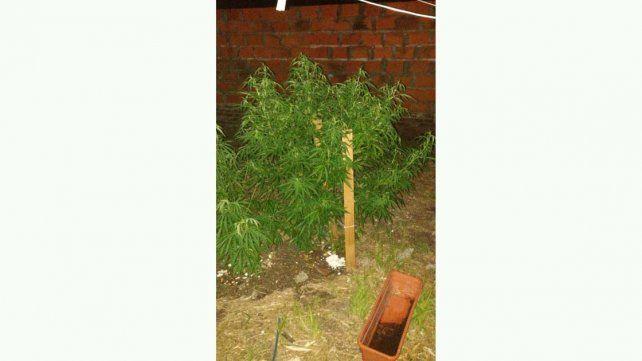 Secuestraron cinco plantas de marihuana en una casa de Oro Verde