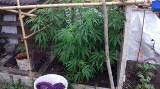 Hallaron una planta de marihuana de casi un metro en el patio de una casa