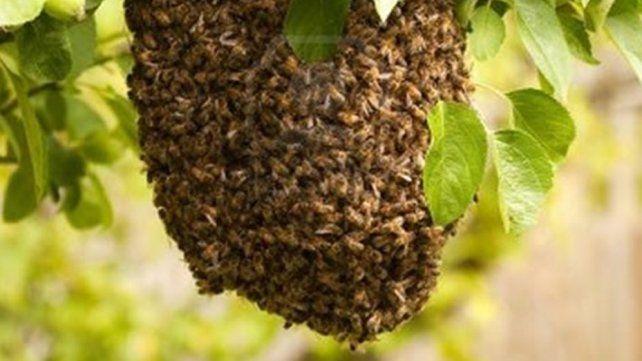 Tucumán: dos personas murieron atacadas por un enjambre de abejas