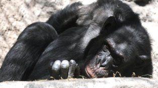 Cecilia, la chimpancé del zoo de Mendoza espera su traslado a un santuario