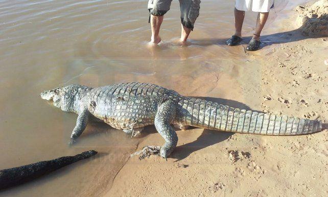 Apareció un yacaré en la playa de Villa Urquiza