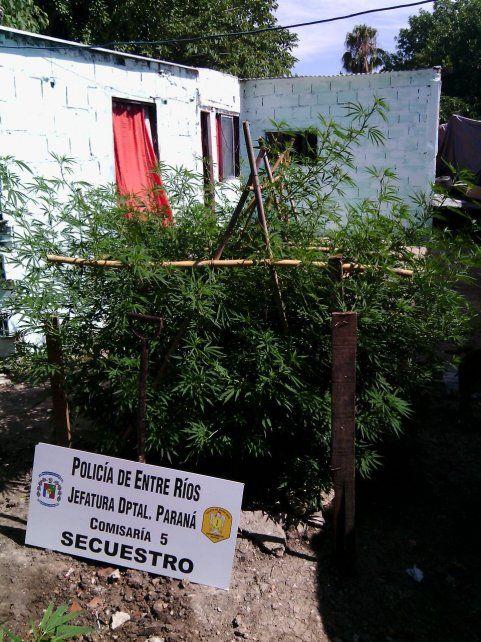 Las plantas estaban en la casa en donde realizaron el procedimiento en una causa por robo. Foto PER.