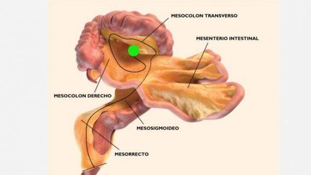 Los científicos identificaron un nuevo órgano del cuerpo humano: el mesenterio