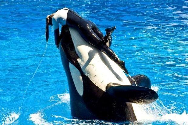 Murió Tilikum, la orca que mató a su entrenadora