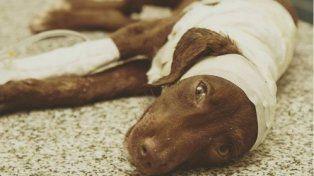 Murió Chocolate, el cachorro que se convirtió en la cara del maltrato animal