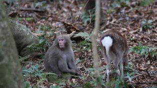 VIDEO: Macaco sorprendido tratando de aparearse con ciervas