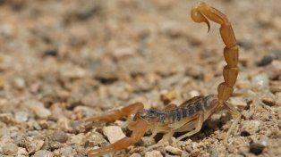 En 2016 disminuyeron las picaduras de escorpiones
