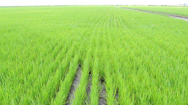 Disminuyó un 12 por ciento la superficie sembrada con arroz en la provincia
