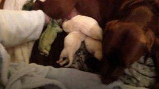 Una labradora dio a luz a una perrita verde