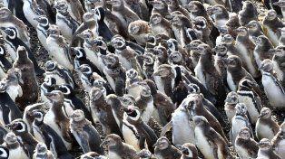 Mas de un millón de Pingüinos de Magallanes se encuentran listos en Punta Tombo para emigrar desde las costas de Chubut hacia aguas mas cálidas