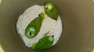 Rescataron loros habladores que se vendían ilegalmente en Paraná
