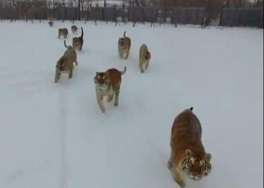 Mirá lo que hacen estos tigres con el dron que los estaba grabando