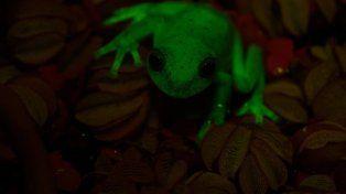 Hallaron en Argentina la primera rana fluorescente del mundo